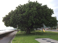 垂水市の海岸この木なんの木.jpg
