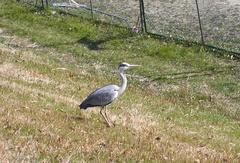 岡山の鳥3.jpg