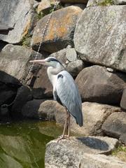岡山の鳥9.jpg