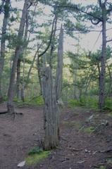 猿ケ森ヒバの埋没林3.jpg