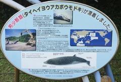 薩摩川内市珍しいクジラが漂着.jpg