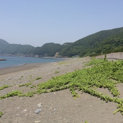 間越海岸(はざこかいがん)ハマユウ.jpg