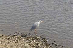 青野川の鳥.jpg