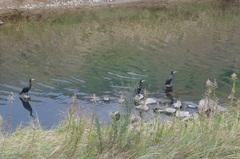 青野川の鳥3羽.jpg